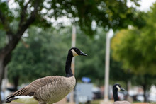 Canada Goose Standing Among Tr...