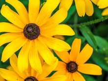 Black-eyed Susans 3