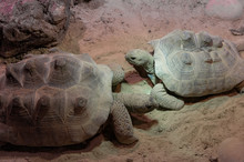 Two Big Ploughshare Tortoise Facing Each Other