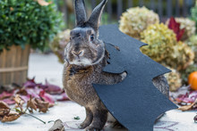 Small Gray And White Rabbit With Attempted Bat Costume For Halloween Surrounded By Colorful Fall Leaves, Pumpkins And Mums, Fall Scene