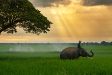 Thailand, The Mahout, And Elep...
