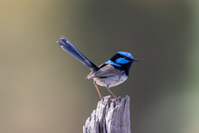 Superb Fairywren In Australia