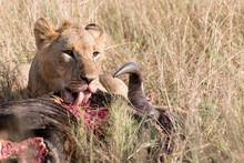 A Lion And Its Kill - A Wildeb...
