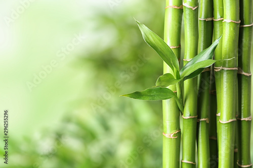 Green bamboo stems on blurred background. Space for text Fototapet