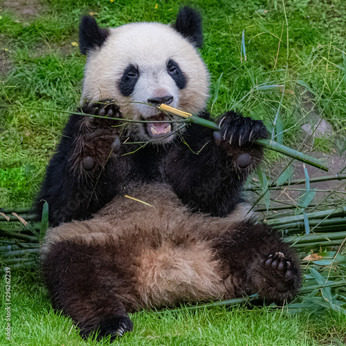 Wall Murals Panda Giant panda, bear panda eating bamboo sitting in the grass, funny face