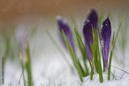 Recess Fitting Crocuses Elfenkrokus im Schnee