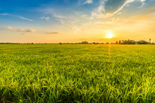 Beautiful Environment Landscape Of Green Field Cornfield Or Corn In Asia Country Agriculture Harvest With Sunset Sky Background.