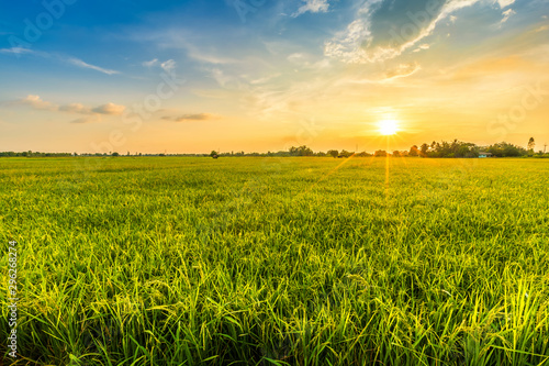 Leinwand Poster Beautiful environment landscape of green field cornfield or corn in Asia country agriculture harvest with sunset sky background