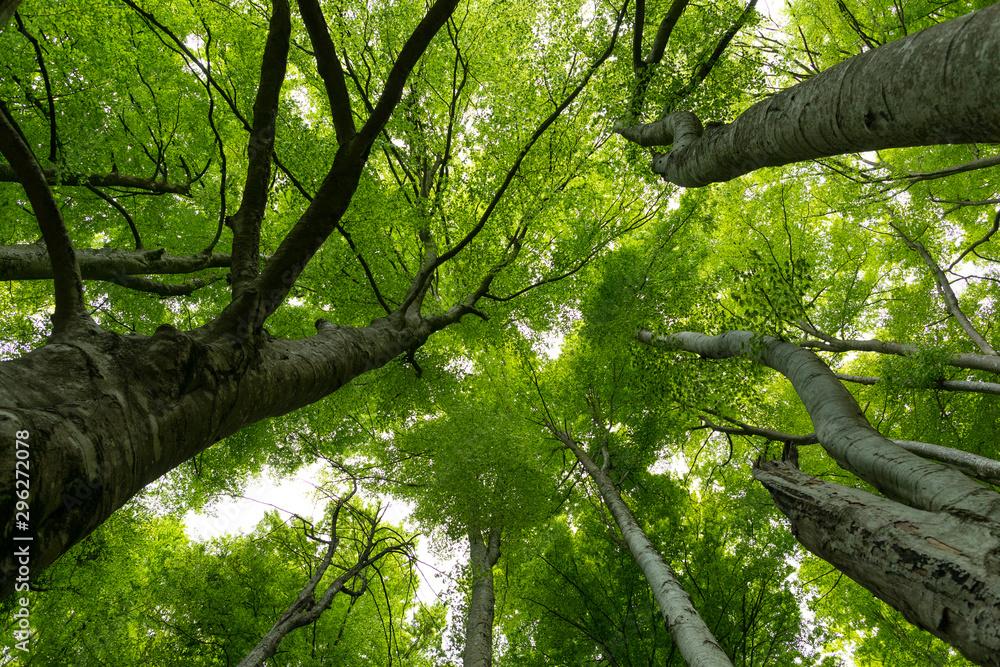 Fototapety, obrazy: Hayedo (bosque) en primavera