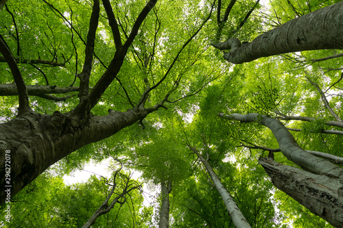 fototapeta na ścianę Hayedo (bosque) en primavera