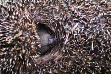 Western European Hedgehog (Eri...