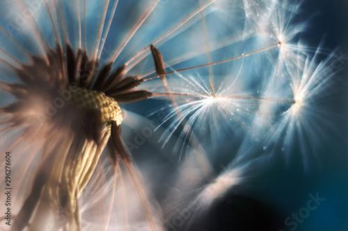 Obraz Dandelion in a macro lens - fototapety do salonu