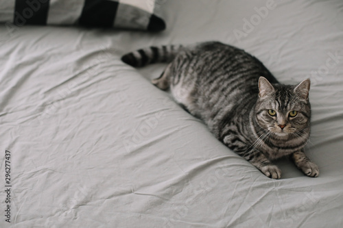 Fototapety, obrazy: Funny Scottish straight cat lying on the blanket. Home pet cute kitten close up photo. Cat Portrait.Cozy home concept. hygge style