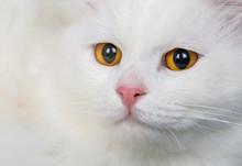 Cute, White Cat