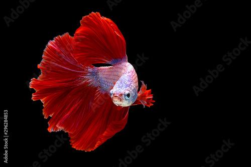 Photo  Red and white betta fish, Siamese fighting fish, betta splendens (Halfmoon betta, Pla-kad (biting fish) isolated on black background