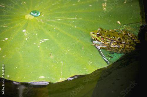 grenouille sur nénuphar, bassin japonais Canvas Print