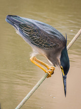 Striated Heron Or The Green Backed Heron Trying To Catch A Fish In An Urban Wetland Park In Sri Lanka