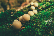 A Family Of White Small Mushrooms (puffball, Fuzz-ball) Grows In A Row In The Forest On Fallen Birch And Green Moss In Summer And Autumn - Nature Is Beautiful