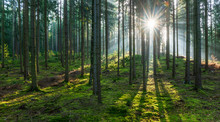 Spruce Tree Forest, Sunbeams T...