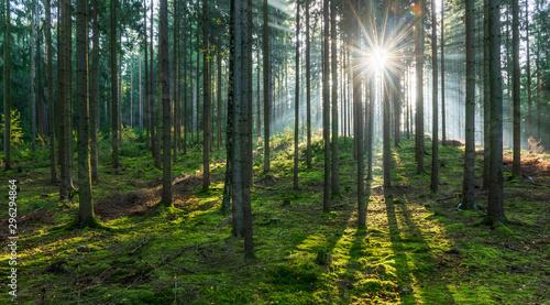 Fototapeta Spruce Tree Forest, Sunbeams through Fog illuminating Moss Covered Forest Floor, Creating a Mystical Atmosphere obraz