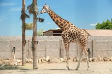 Rothschild Giraffes At Enclosu...