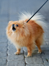 Pomeranian Spitz Walking On Le...
