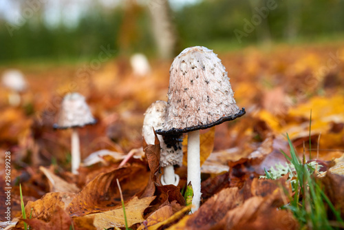 Photo Coprinus Comatus is a comestible mushroom growing in autumn.