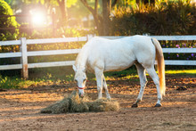 White Horses Eat Hay In The Stable