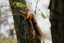 The Squirrel Sits On A Tree In...