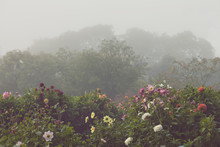 Dahlia Flowers Growing On Plant