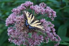 Eastern Swallowtail Butterfly Feeding On Joe Pye Weed.