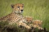Fototapeta Sawanna - Close-up of cheetah lying with two cubs