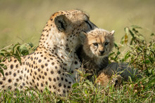 Close-up Of Cheetah Resting With Young Cub