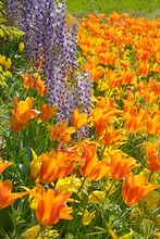 Closeup Yellow And Orange Tuli...
