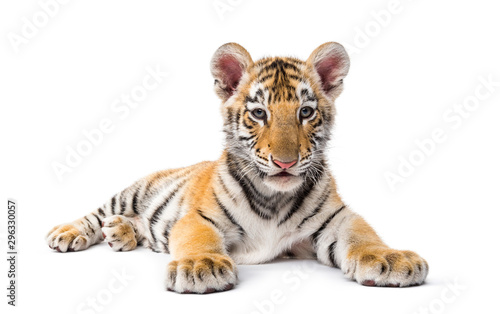 Keuken foto achterwand Tijger Two months old tiger cub lying against white background