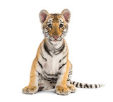 Fototapeta Zwierzęta - Two months old tiger cub sitting against white background