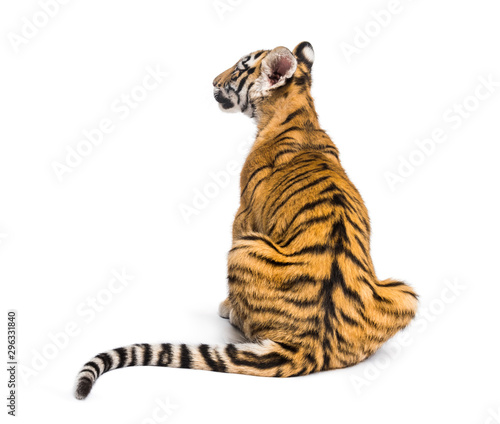Photo Back view on a two months old tiger cub sitting, isolated on white