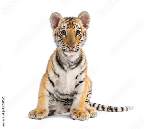 Two months old tiger cub sitting against white background Canvas Print