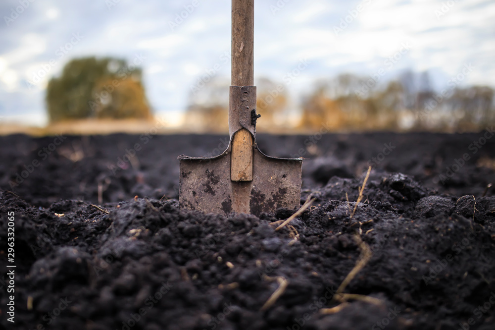 Fototapety, obrazy: metal old shovel is stuck in the black soil of the earth in the vegetable garden in the autumn garden during agricultural work