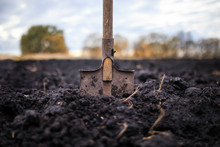 Metal Old Shovel Is Stuck In The Black Soil Of The Earth In The Vegetable Garden In The Autumn Garden During Agricultural Work