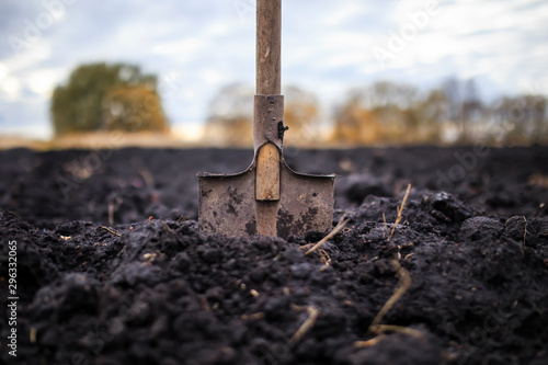 Fototapeta metal old shovel is stuck in the black soil of the earth in the vegetable garden in the autumn garden during agricultural work obraz