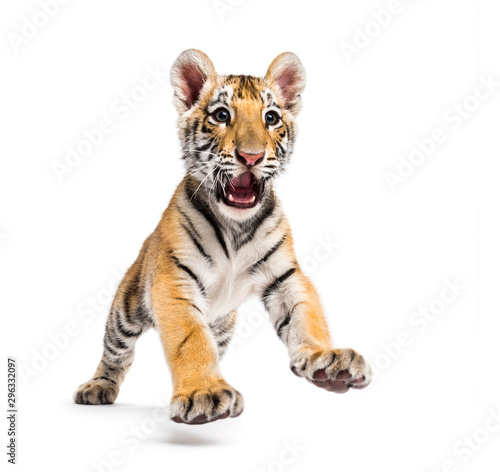 Obraz Two months old tiger cub pouncing isolated on white - fototapety do salonu