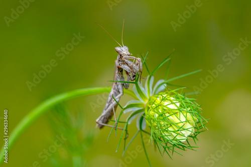 Deurstickers Vlinder Close up of pair of Beautiful European mantis ( Mantis religiosa )