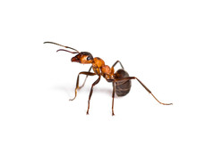 European Red Wood Ant, Formica Polyctena, Isolated On White