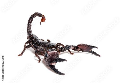 Emperor scorpion, Pandinus imperator Canvas Print