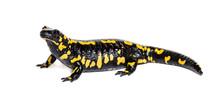 Fire Salamander, Salamandra Salamandra, Isolated