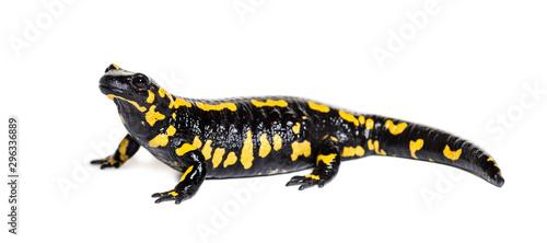 Photo Fire salamander, Salamandra salamandra, isolated