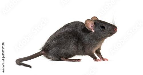 Black rat, Rattus rattus, in front of white background Obraz na płótnie