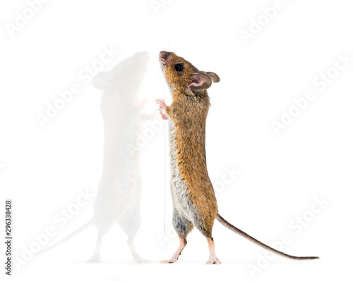 Photo Eurasian mouse, Apodemus species, on hind legs in front of white