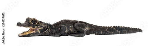 Foto op Canvas Krokodil Dwarf crocodile, Osteolaemus tetraspis, isolated on white